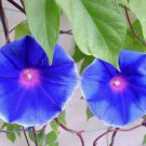 BLUE THUNDER Mutation Japanese Morning Glory 10 seeds RARE STAR Vine SALE
