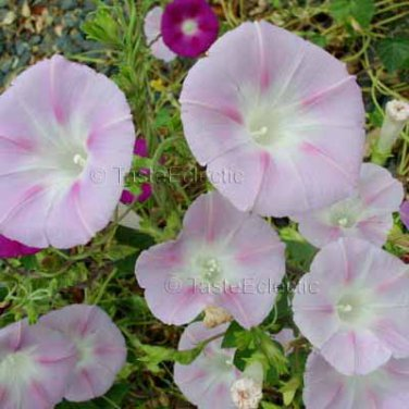 VICKIE HARDING Pale Pink Morning Glory 35 seeds SO PRETTY TWINING Climber SALE
