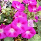 CRIMSON RAMBLER Bright Pink Morning Glory 20 seeds SO PRETTY TWINING Climber