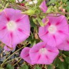 TICKLE ME PINK Morning Glory 20 seeds SO PRETTY TWINING Climber