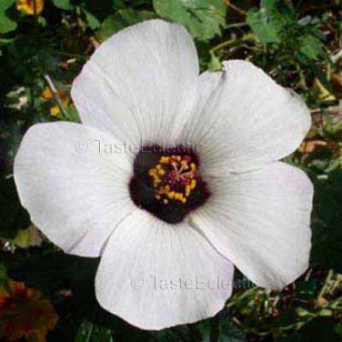 Hibiscus trionum 35 seeds SIMPLY LOVE Flower Of An Hour EASY SALE
