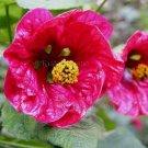 Abutilon hybridum 'Cherry' 9 seeds FLARING WAXY PINK FLOWERING MAPLE Chinese Bell Flower