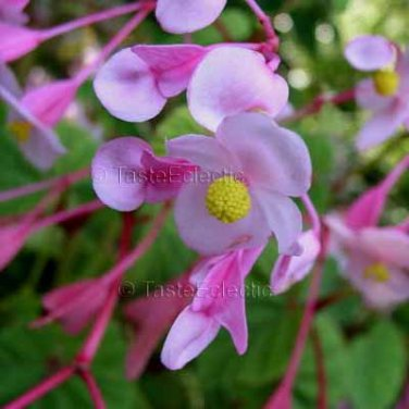 Begonia grandis 35 seeds HARDY BEGONIA Red Veined Underside LOVELY Z6