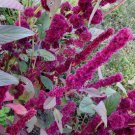 Amaranthus cruentus 'Tower Red' 35 seeds, UNIQUE COLUMNAR Fascinating EASY