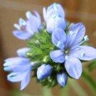 Gilia capitata 35+ seeds BLUE GLOBE THIMBLE Bees Hummingbirds EASY NATIVE Scented