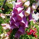 Digitalis purpurea 'Mid Pink' 100+ seeds COMMON FOXGLOVE Cottage Garden EASY Z4