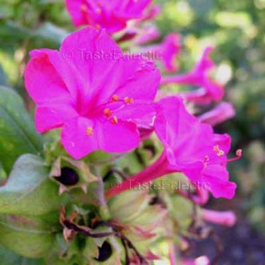 Mirabilis jalapa 'Fuchsia' 35 seeds FOUR O'CLOCK Tuber MARVEL OF PERU Easy SALE