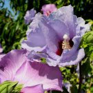 Hibiscus syriacus 10 seeds BLUE LAVENDAR Z5 Rose Of Sharon EASY HARDY SALE