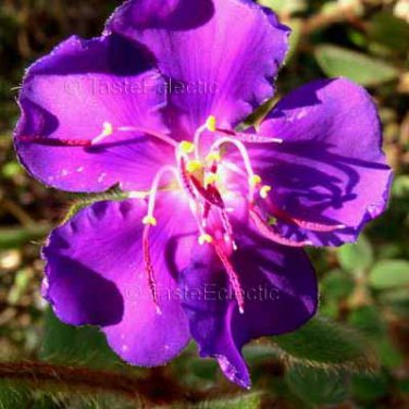 Tibouchina heteromalla 25 seeds VELVETY PURPLE PRINCESS FLOWER Glory Bush V HARD2FIND