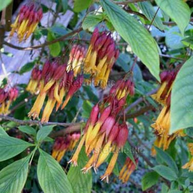 Deppea splendens 35 seeds ALMOST EXTINCT Coffee Kin AWESOME DANGLING Legendary V RARE