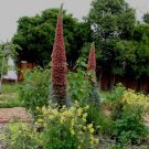 Echium wildpretii 25 seeds RED TOWER OF JEWELS Easy RARE AGM Bees SALE