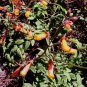 Eccremocarpus/Calampelis scaber 'Tresco Gold' 30 seeds LOPSIDED CHILE TRUMPET VINE Tuberous SALE