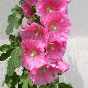 Alcea rosea Single Pink 50 seeds HOLLYHOCK Cottage VIGOROUS LONG BLOOMING Easy Z3