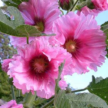 Alcea rosea Semi Double Pink 50 seeds HOLLYHOCK Cottage VIGOROUS GORGEOUS Easy Z3