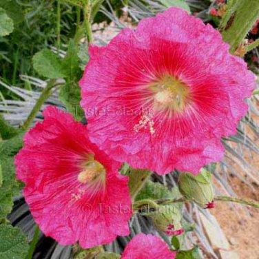 Alcea rosea Semi Double Fuchsia 50 seeds HOLLYHOCK Eye-catching COTTAGE Easy Z3