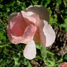 Alcea rosea Single/Semi Double Peach/Apricot 50 seeds HOLLYHOCK Delicious COTTAGE Easy Z3
