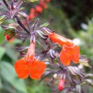Salvia rubescens ssp dolichotrix 10 seeds TALL RED COLOMBIAN SAGE Impressive Bloom HARD-TO-FIND SALE