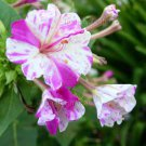 Mirabilis jalapa 'Kaleidoscope White-Fuchsia Swirls' 22 seeds FOUR O'CLOCK MARVEL OF PERU SALE