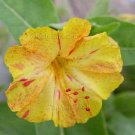 Mirabilis jalapa 'Kaleidoscope Yellow-Fuchsia Swirls' 22 seeds FOUR O'CLOCK MARVEL OF PERU SALE