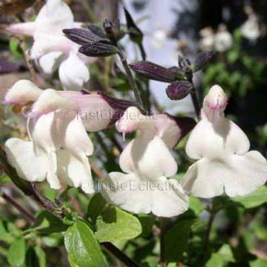 Salvia microphylla Heatwave Glimmer 10 seeds CREAM MOUNTAIN SAGE *New Z7 COMPACT Hot Dry DARK CALYX