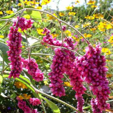 Polygonum orientale 30 seeds KISS ME OVER THE GARDEN GATE Dramatic Pink COTTAGE HEAT SUN SALE