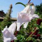 Ceratotheca triloba 20 seeds WILD AFRICAN Foxglove EASY SALE