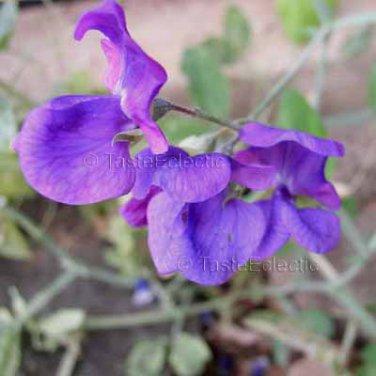 Lathyrus odoratus 'Purple' 15 seeds SWEET PEA Fragrant Vine