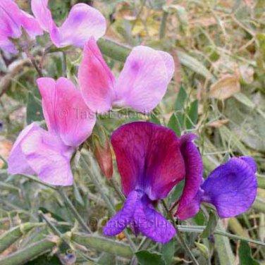 Lathyrus odoratus Mix 25 seeds SWEET PEA Fragrant Vine SALE