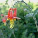 Aquilegia formosa 30 seeds WESTERN COLUMBINE Crimson Scarlet SHADE Easy