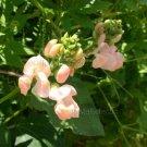 Phaseolus coccineus 'Sunset' 4 seeds PEACH RUNNER BEAN Vine EXQUISITE Unusual