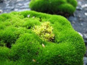 Irish Moss   (hand l. 2oz)