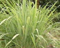 Lemongrass Pure Essential Oil 1/2 oz