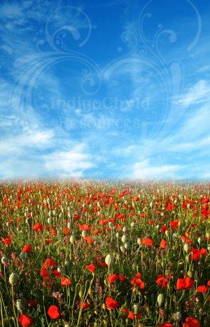 Sunny Poppies