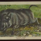 1890 Victorian Trade Card - Arbuckle Brothers Coffee Company - VLACKE VARK (Sus scrofa) (#7)
