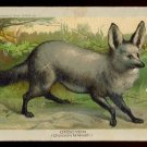 1890 Victorian Trade Card - Arbuckle Brothers Coffee Company - OTOCYON (Otocyon lalandii) (#43)