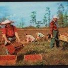 1960s(?) CAPE COD, Massachusetts - Cranberry Harvesting - Unused Postcard