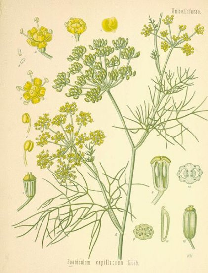 HERB SEEDS Fennel Foeniculum vulgare California Grown
