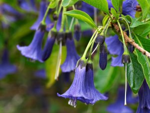 IOCHROMA BLUE mini brugmansia seeds 10