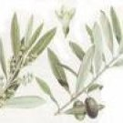 FRESH OLIVE LEAVES  FOR HEALTH AND TEA  pp--FREE