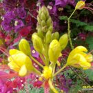 10 Caesalpinia Gilliesii - Yellow Bird Of Paradise  pp--FREE