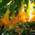 2 brugmansia HUGE yellow angel trumpets cuttings