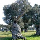 The Olive (Olea europaea) seeds 25 pp FREE