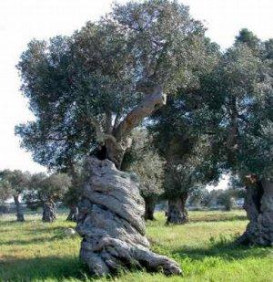 The Olive (Olea europaea) seeds 25 pp FREE