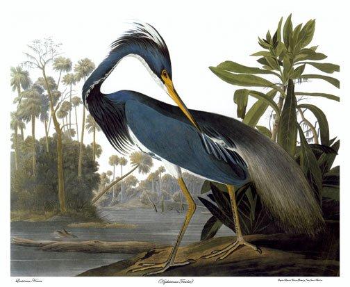 """Audubon """"Louisiana Heron""""HUGE Audubon Art Print Edition"""