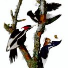 "Audubon ""Ivory-Billed Woodpecker""HUGE Art Print Edition"