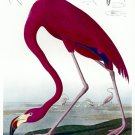 "Audubon ""Flamingo"" HUGE Art Print Audubon Edition"