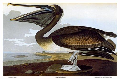 "Audubon ""Brown Pelican"" HUGE Art Print Audubon Edition"