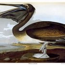 Audubon &quot;Brown Pelican&quot; HUGE Art Print Audubon Edition