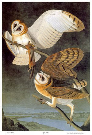 "Audubon ""Barn Owl"" HUGE Art Print Audubon Edition"