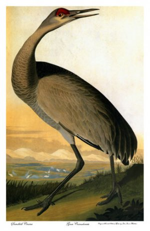 "Audubon ""Sandhill-Hooping Crane""BIG Beautiful Art Print"